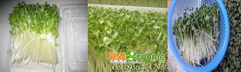 VinaOrganic hướng dẫn kỹ thuật trồng rau mầm chất lượng