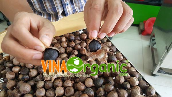 Một số hình ảnh của Tỏi đen sau khi VinaOrganic thu hoạch